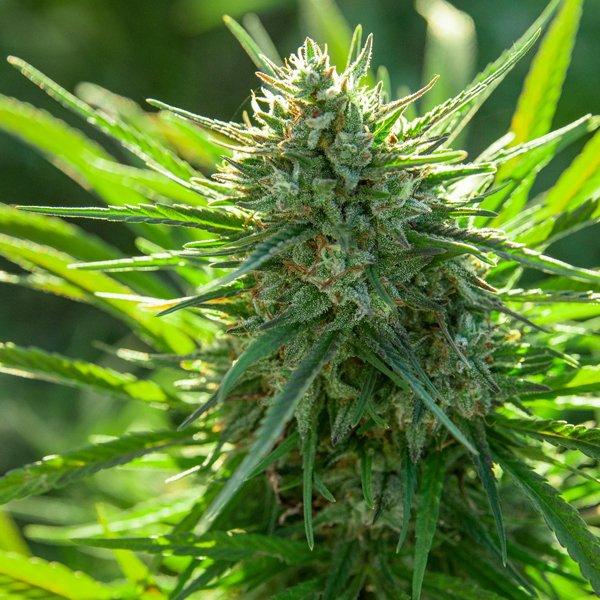 phoenix marijuana plants